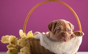 Picture flowers, basket, puppy, dog, Bordeaux
