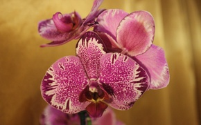 Picture flowers, pink, Orchid