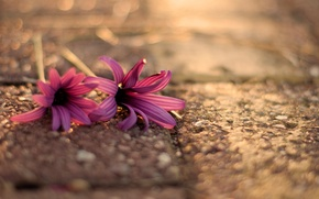 Picture flowers, flowers, widescreen, asphalt, blur, HD wallpapers, Wallpaper, boceh, full screen, flower, background, fullscreen, macro, ...