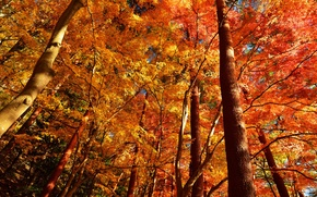Picture autumn, forest, leaves, trees, trunk, crown