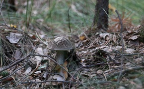 Picture forest, summer, macro, mushroom, swamp, moss, original, boletus