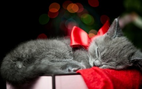 Picture cat, cat, kitty, grey, box, sleeping, bow, ribbon