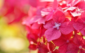 Wallpaper flowers, macro, hydrangea, bokeh