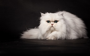 Picture cat, the dark background, white, Persian, Wallpaper from lolita777