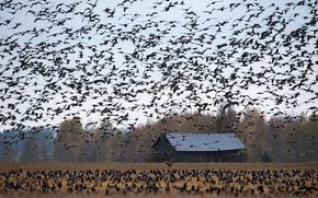 Picture field, autumn, birds