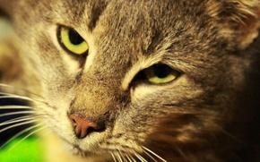 Picture brightness, head, fur, feline