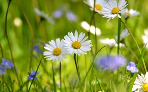 Wallpaper field, white, summer, chamomile, meadow, wildflowers