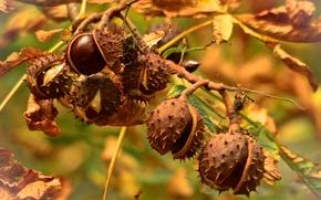 Picture autumn, nature, chestnuts