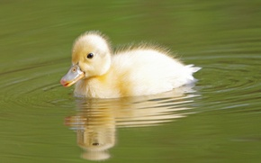 Picture water, bird, cub, duck, duck
