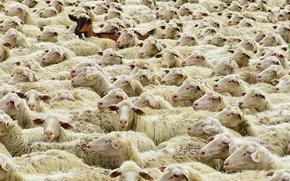 Picture sheep, Germany, Bayern, goat, flock, Main-Spessart