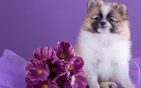 Picture flowers, cute, Spitz