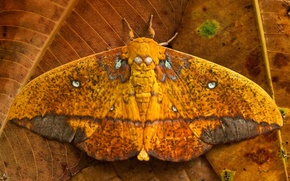 Picture leaves, butterfly, wings, Ecuador, Saturniid moth, Yasuni National Park