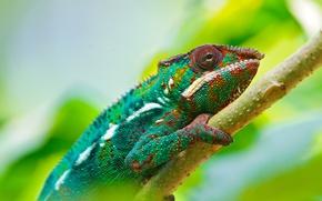 Picture Colorful, Wallpaper, Chameleon