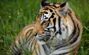 Picture tiger, stay, predator, profile, wild cat