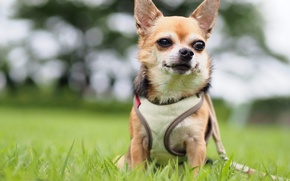 Picture vest, Chihuahua, dog