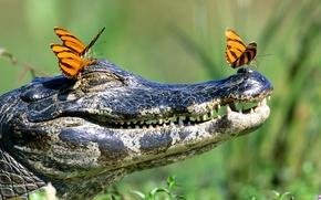Wallpaper mouth, crocodile, butterfly, teeth