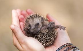 Wallpaper hands, background, hedgehog