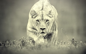 Picture predator, hunting, lioness