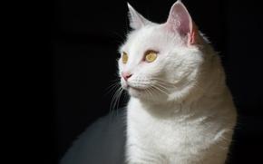 Picture cat, white, cat, shadow, muzzle