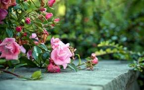 Picture flowers, Bush, roses
