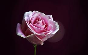 Picture flower, drops, background, pink, rose, petals, stem, Bud