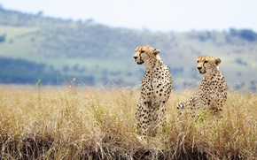 Picture grass, wild cats, a couple, cheetahs