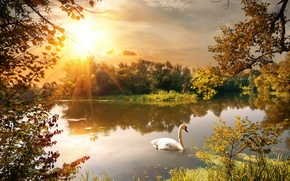Picture autumn, leaves, trees, branches, pond, Park, Swan, the rays of the sun
