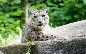 Picture cat, look, stone, IRBIS, snow leopard