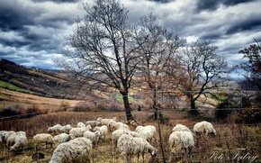 Picture autumn, trees, sheep, pasture, the herd, Fabry