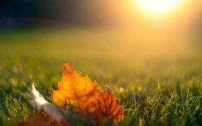 Picture autumn, grass, the sun, light, sunset, nature, sheet, the evening, maple