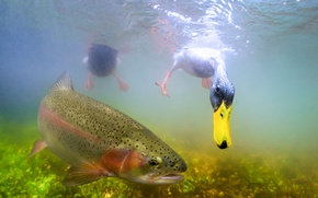 Wallpaper under water, duck, fish