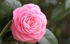 Picture flower, leaves, macro, pink, petals, Camellia