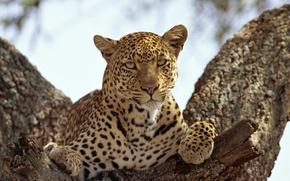 Picture cat, look, predator, leopard