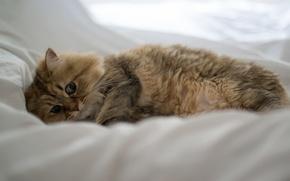 Picture cat, bed, lying, Daisy, Ben Torode, Benjamin Torode