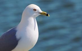 Picture water, bird, Seagull, beak