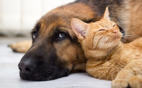 Wallpaper cat, look, dog, friendship