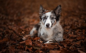 Picture autumn, look, leaves, dog, puppy, The border collie