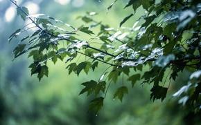 Picture leaves, drops, branches, glare, rain, tree
