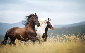 Wallpaper horses, background, nature