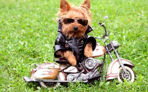 Picture grass, dog, glasses, jacket, motorcycle, Yorkshire Terrier