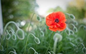 Picture flower, macro, red, glade, blur, Mac