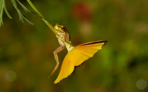 Picture flower, macro, frog, the common frog, drevenica