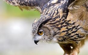 Wallpaper macro, flight, owl, bird, wings, owl