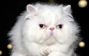 Picture cat, eyes, look, background, blur, white, fluffy, Persian