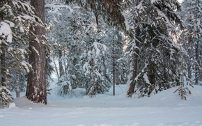 Picture winter, forest, snow, trees, nature, frost, forest, Nature, trees, winter, snow, frost