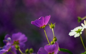 Wallpaper macro, flowers, blur, purple, white, anodes, The anode