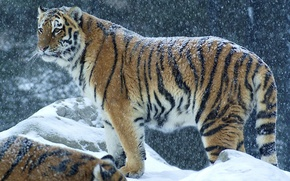 Picture winter, snow, predator, Tiger