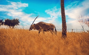Picture field, the sky, tree, horns, antelope