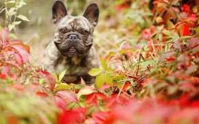 Picture autumn, look, leaves, dog, French bulldog