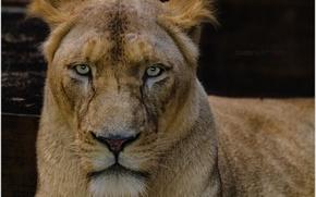 Picture animals, lion, zoo, wildlife, white lion